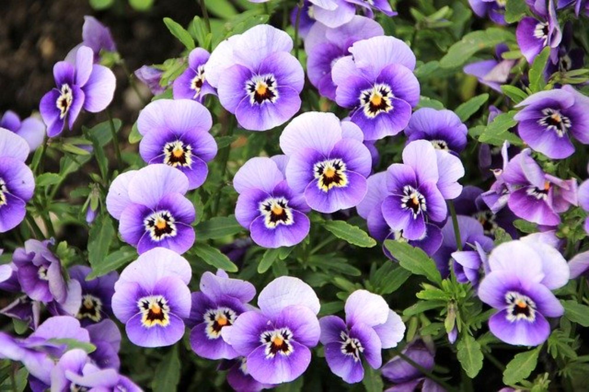 Specyfika kwiatów jadalnych