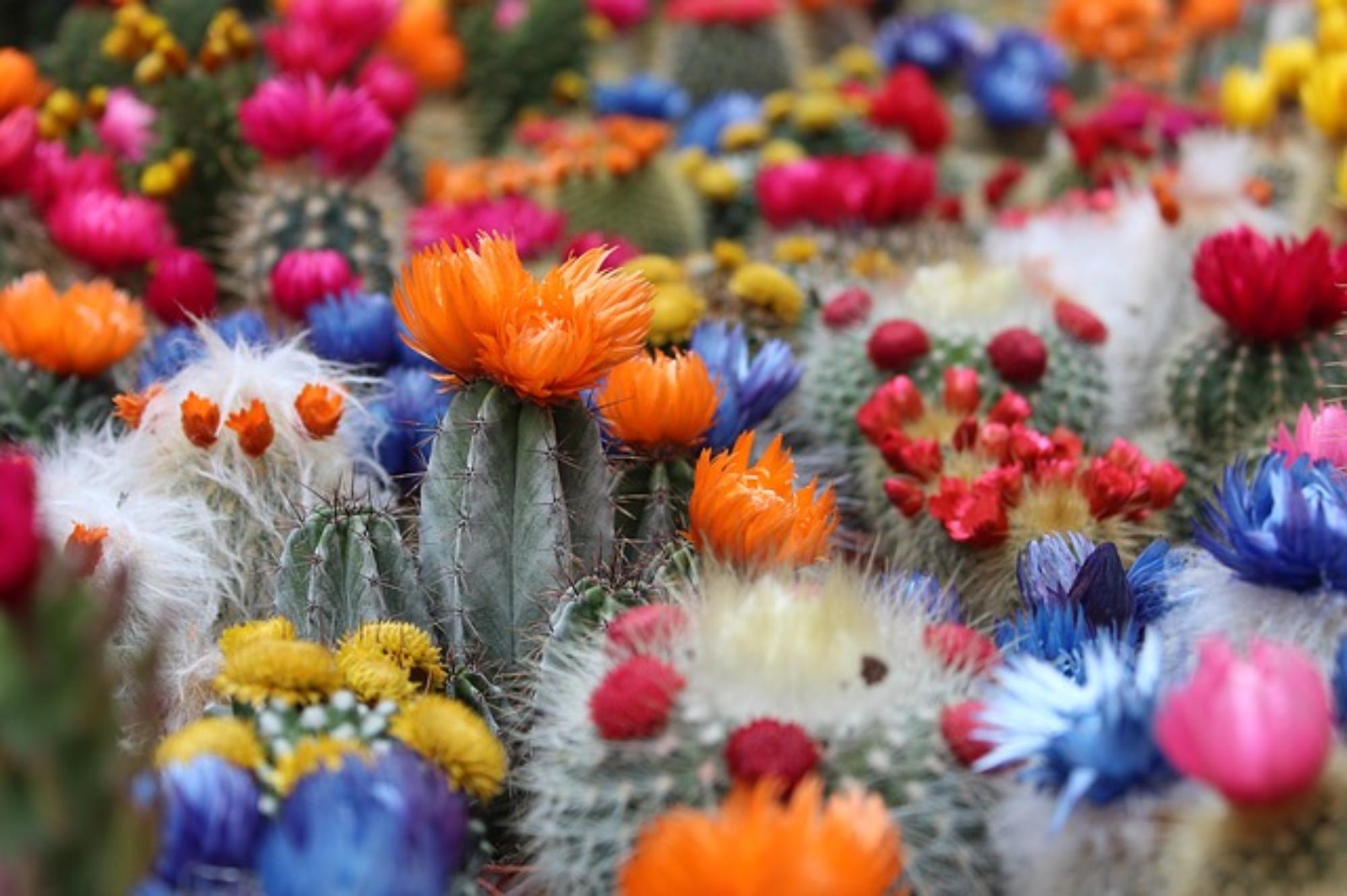 Kwitnienie kaktusów – jak do niego doprowadzić?