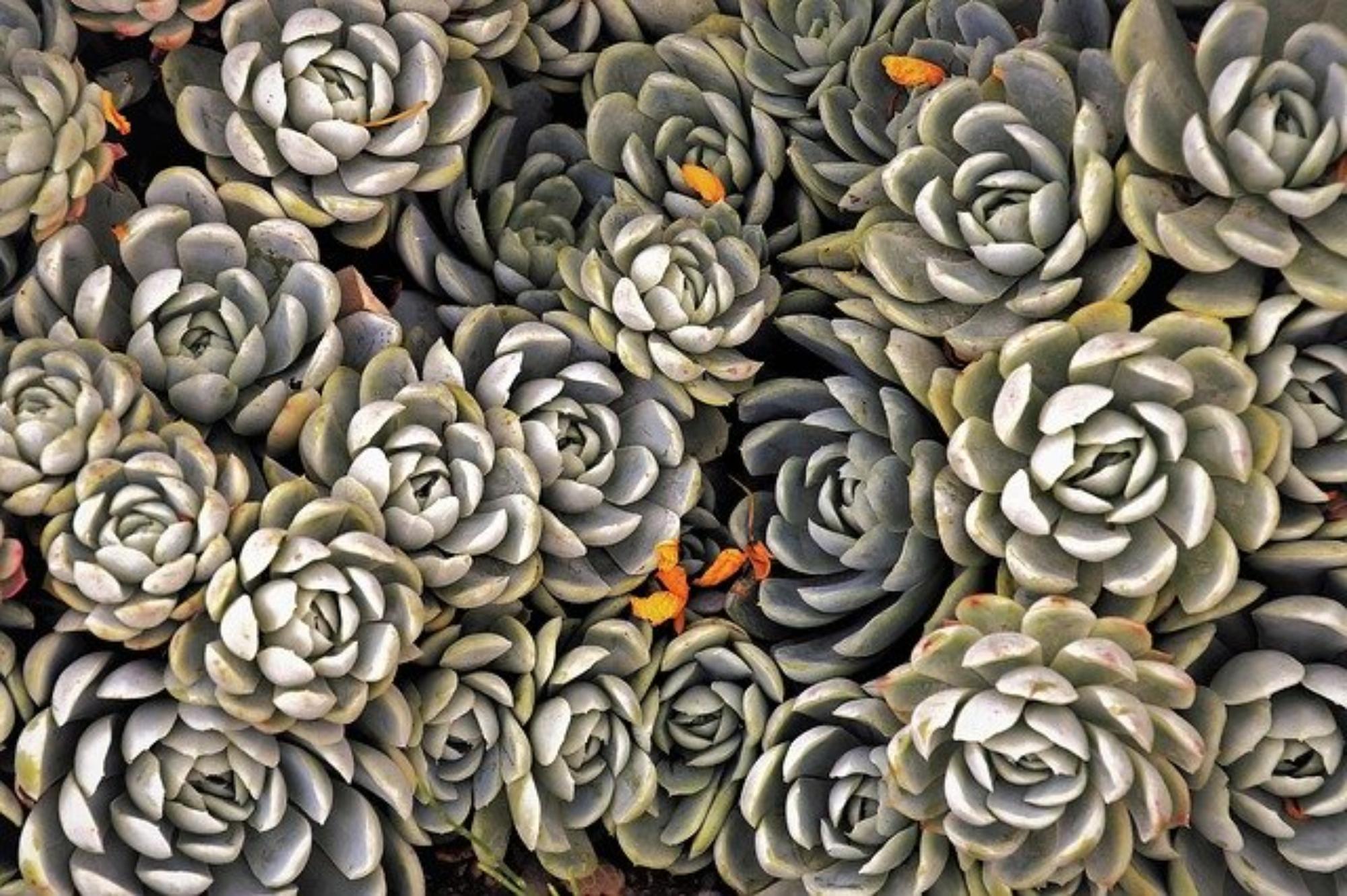Sukulenty jako rośliny ogrodowe